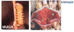 Muga Silk Worm